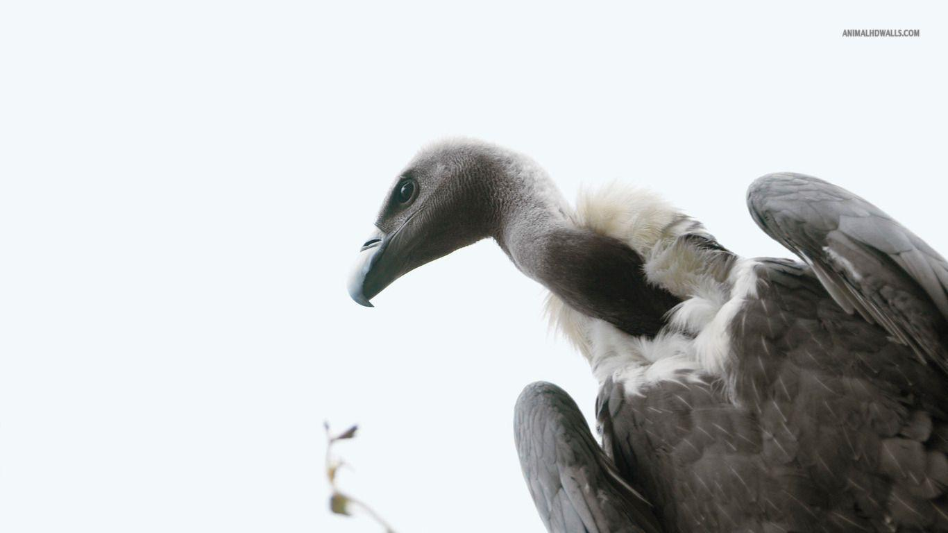 Vulture wallpapers #