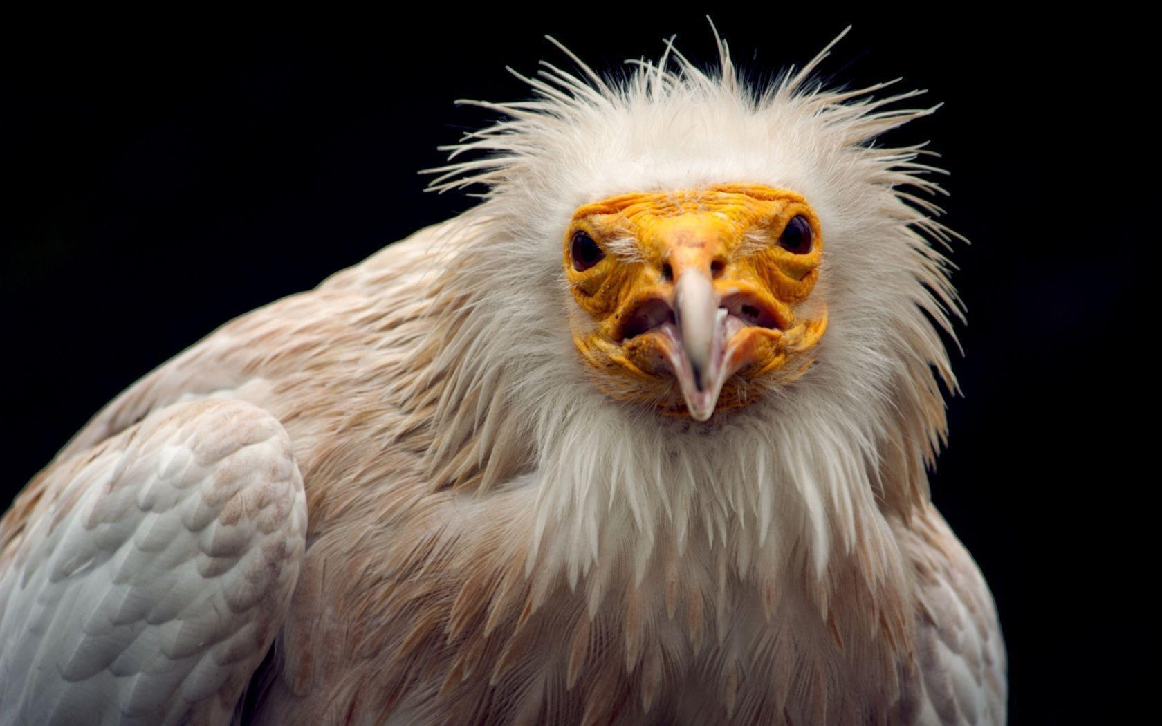 Warning by an Egyptian vulture 1680x1050 Wallpapers