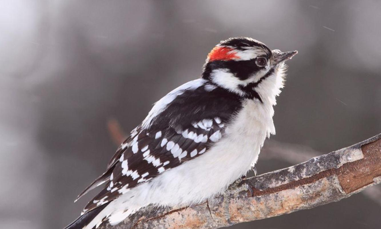 Woodpecker Wallpapers for Android