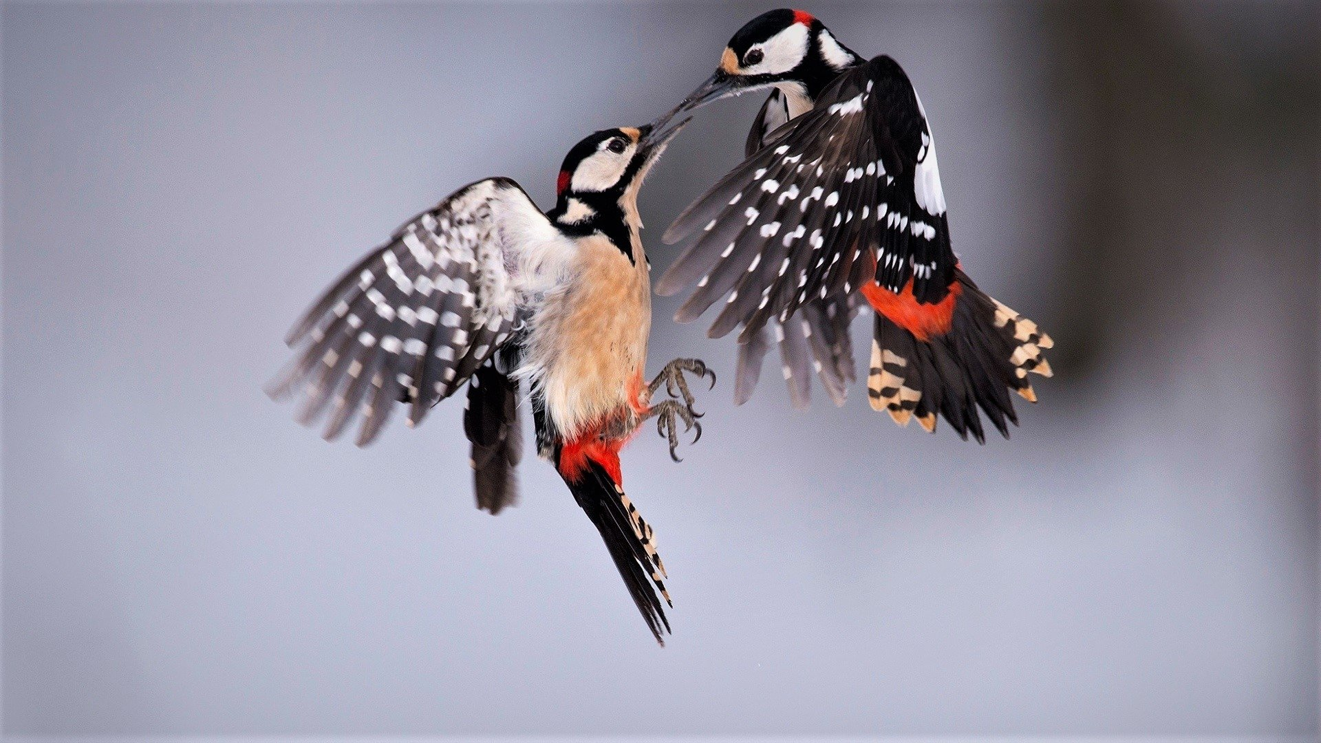 Great Spotted Woodpeckers HD Wallpapers
