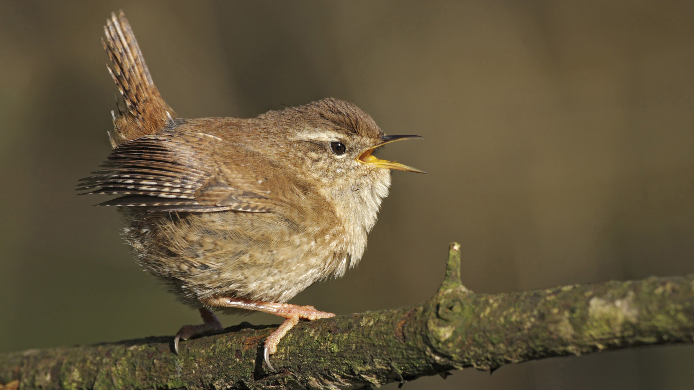 wren wallpapers and backgrounds