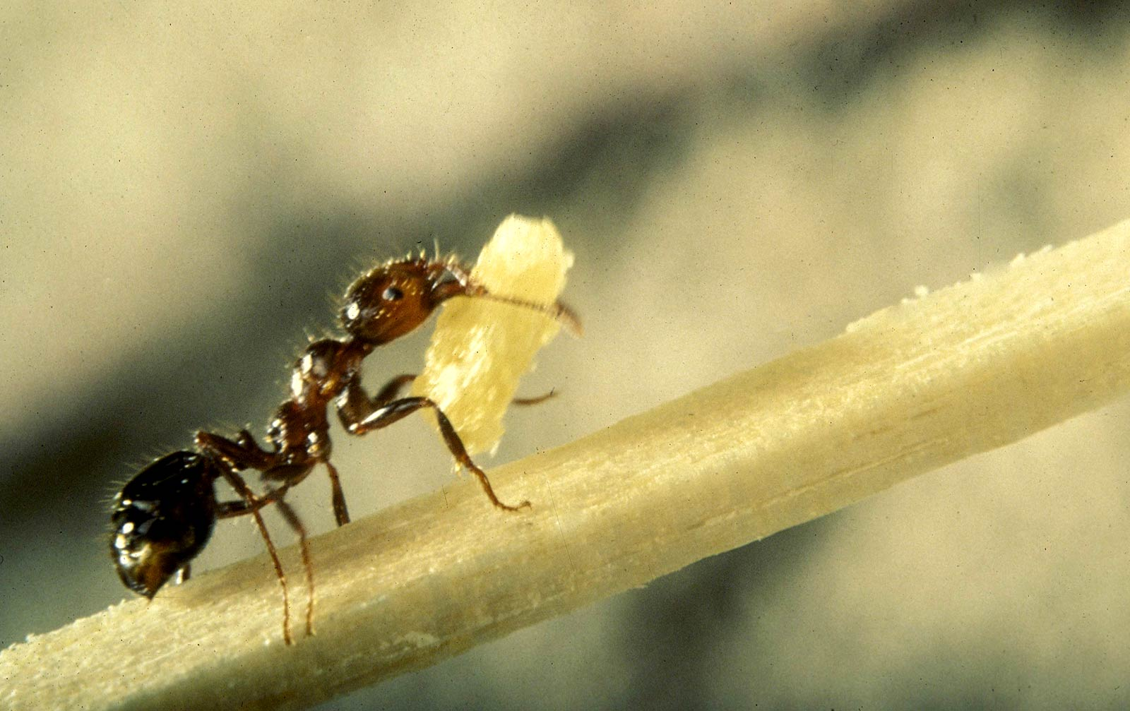 Fire Ant Wallpapers