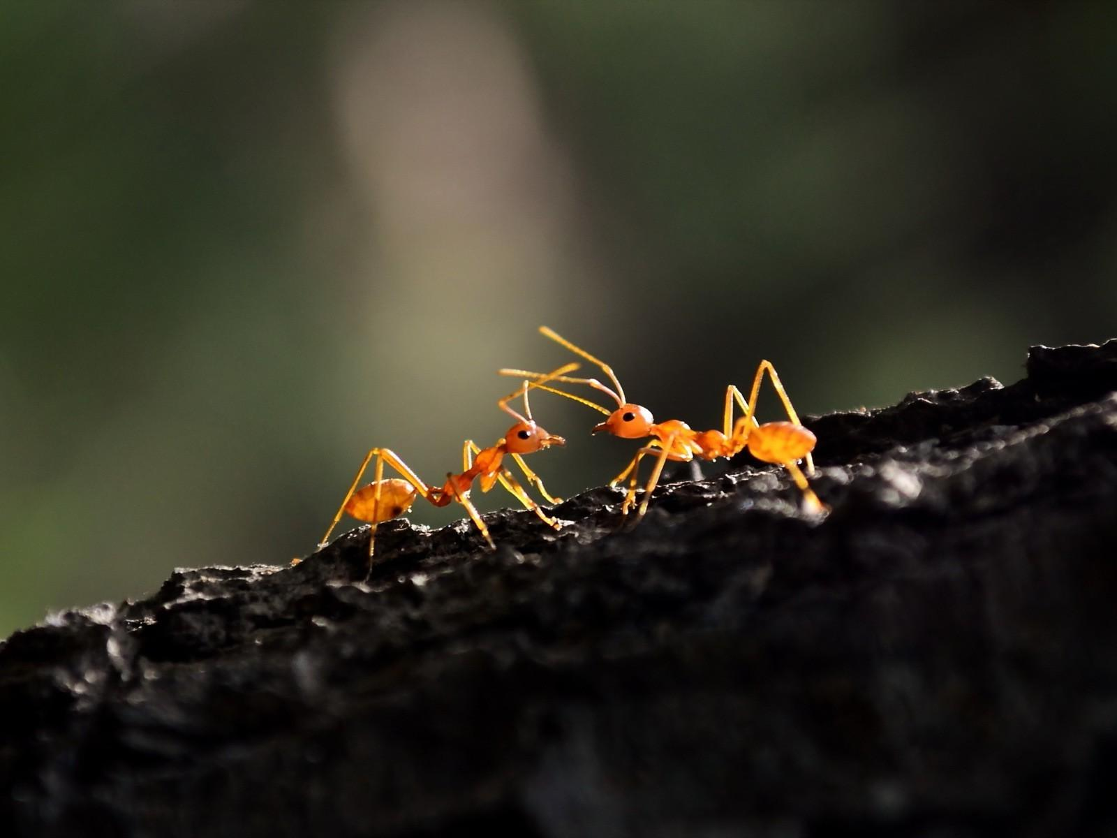 Ant Wallpapers 14