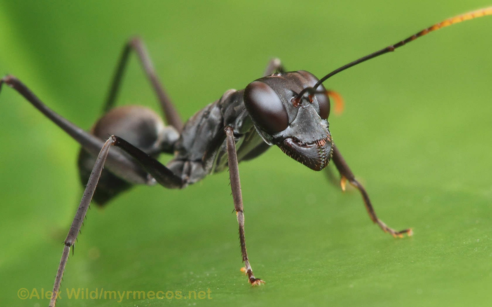 Insect Wallpapers – MYRMECOS