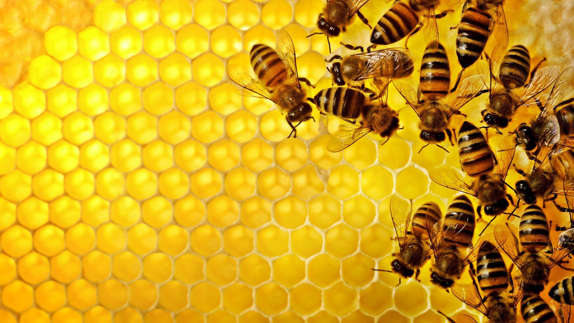 Bee Wallpapers HD Pictures – One HD Wallpapers Pictures Backgrounds