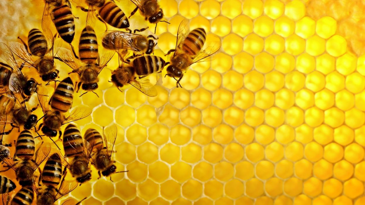 Bee insect bees wallpapers