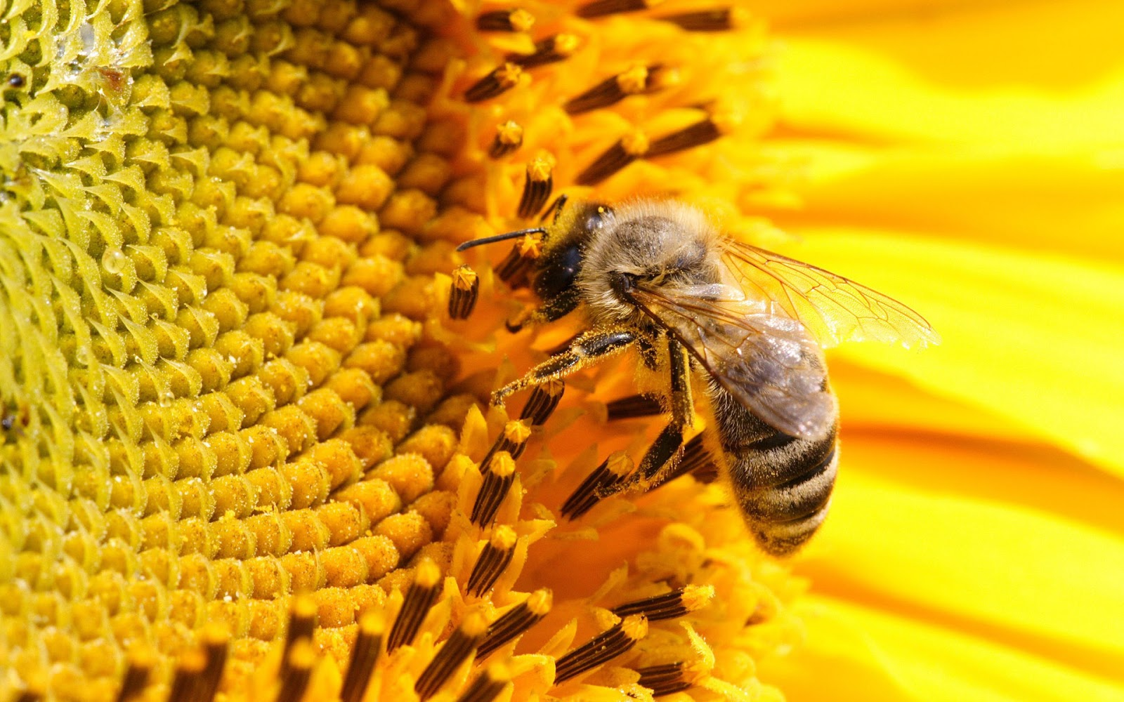 Latest Bee HD Wallpapers Image And Photos Free Download