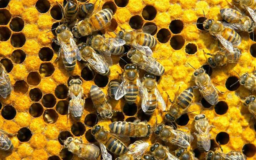 Download Bee Wallpapers 64+ on HD Wallpapers Page