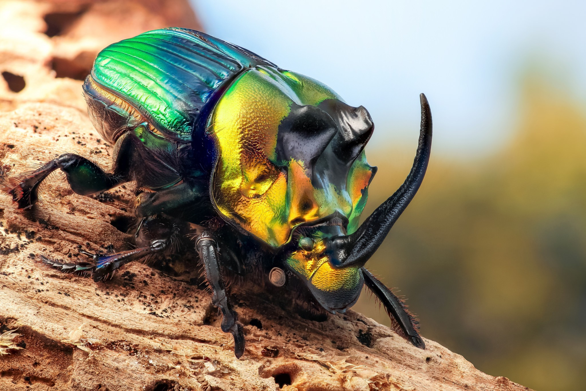 animals insect beetles macro wallpapers and backgrounds