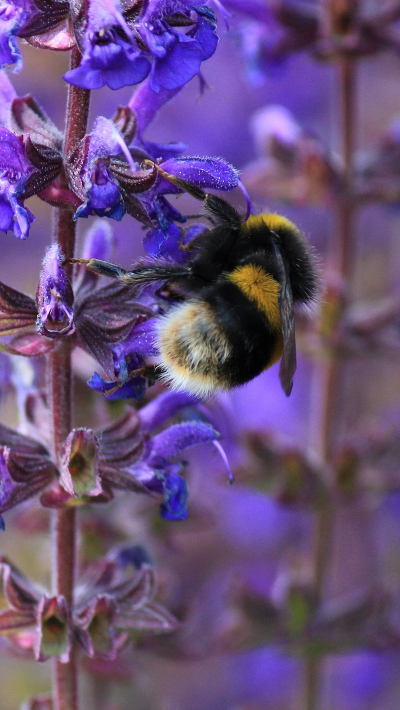 Download wallpapers 800x1420 bumble bee, bee, insect, purple