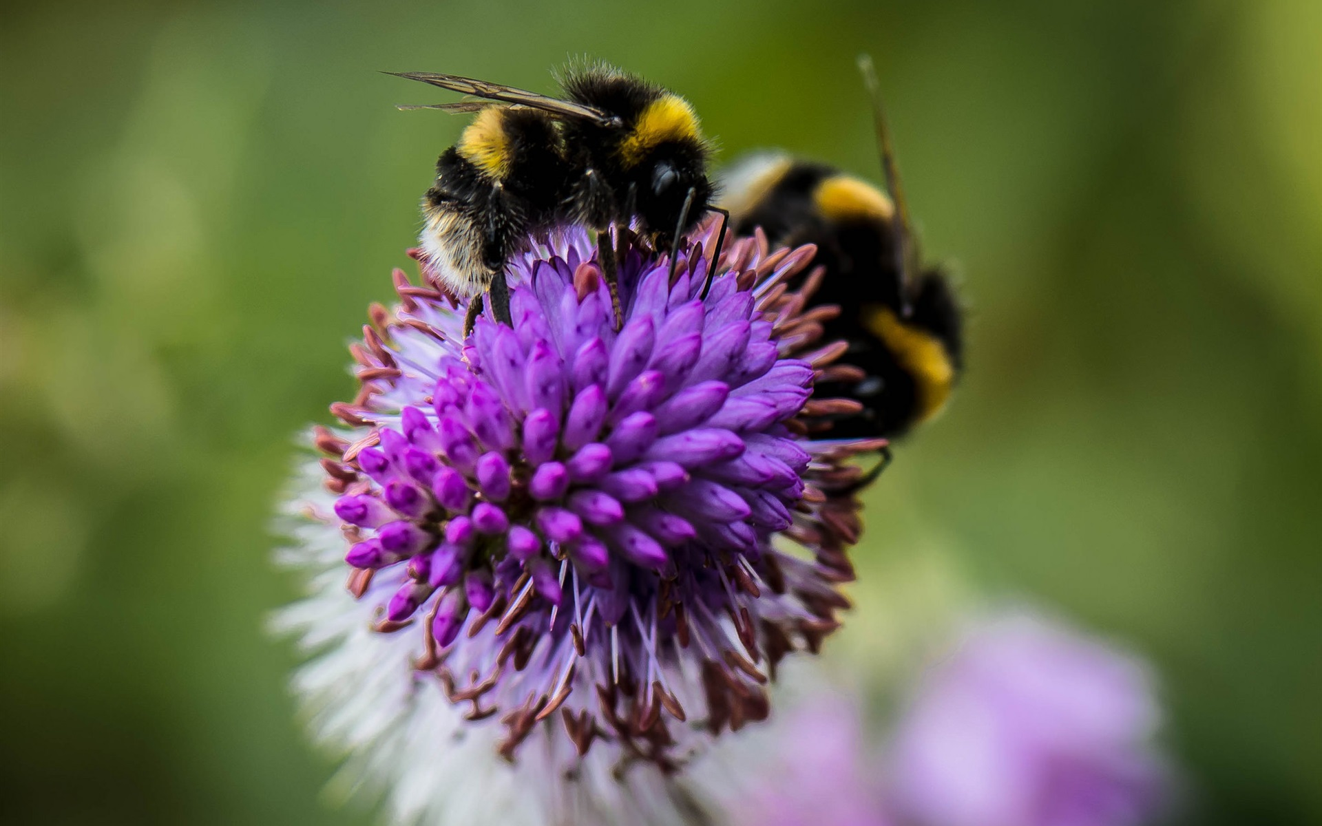 Wallpapers Insect, bumblebee, flower 1920x1200 HD Picture, Image