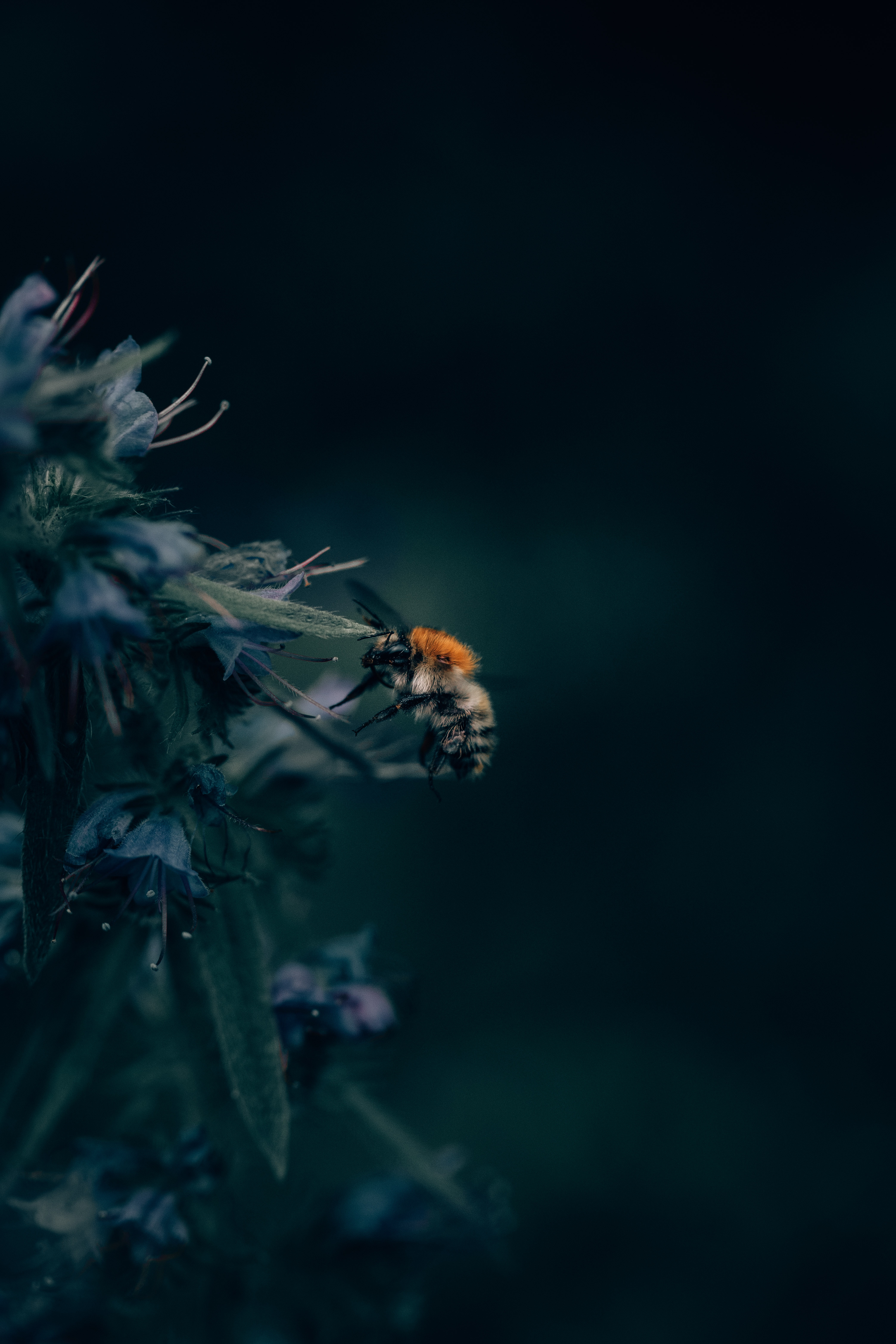Download wallpapers 4160x6240 bumblebee, insect, flower