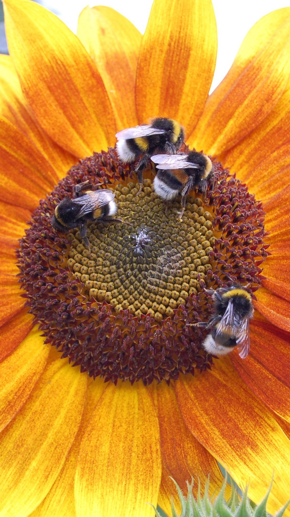 Download wallpapers 938x1668 sunflowers, bumblebees, flowers