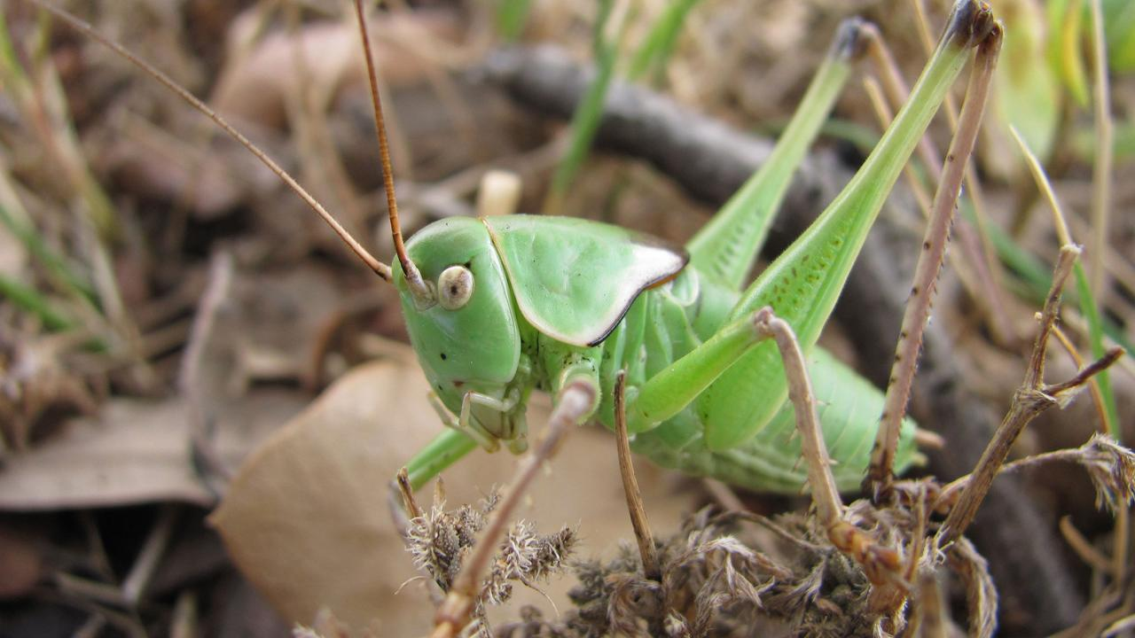 Do Crickets Bite: Common Symptoms & Treatment, How to Get