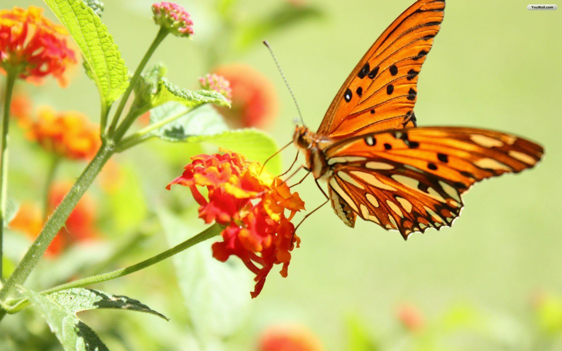 Orange And Black Butterfly wallpapers