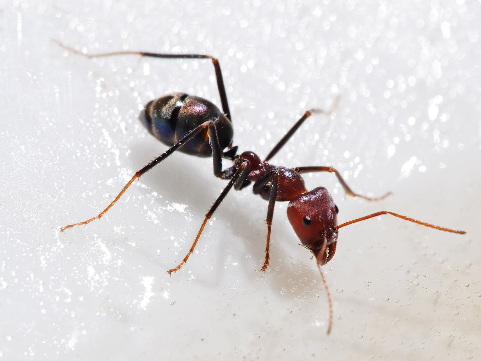 Ant Wallpapers and Backgrounds Image