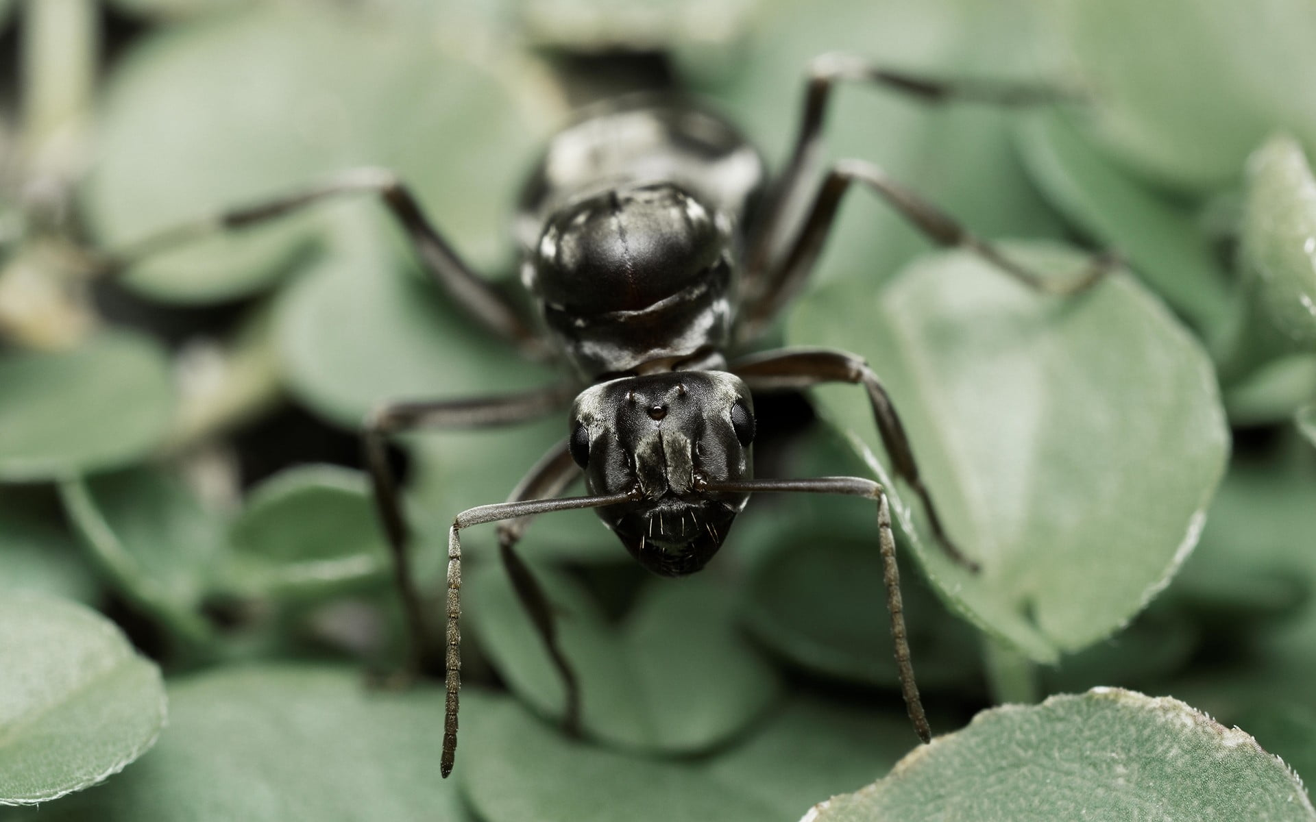 Black carpenter ant, ants, nature, insect, macro HD
