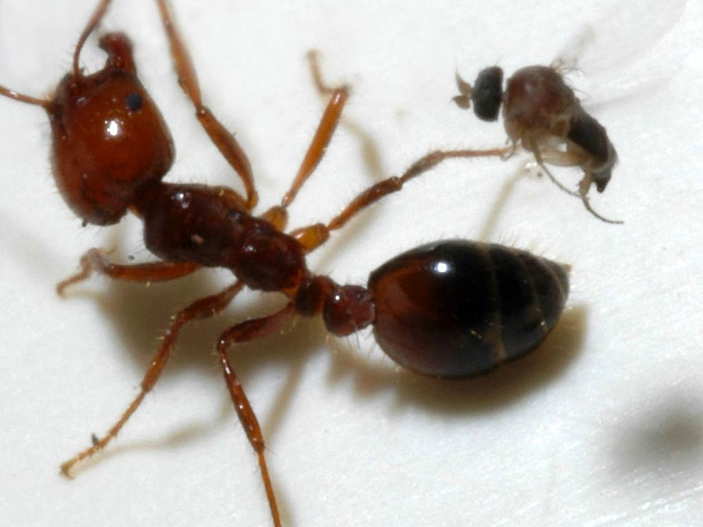 Fire Ant Wallpapers and backgrounds