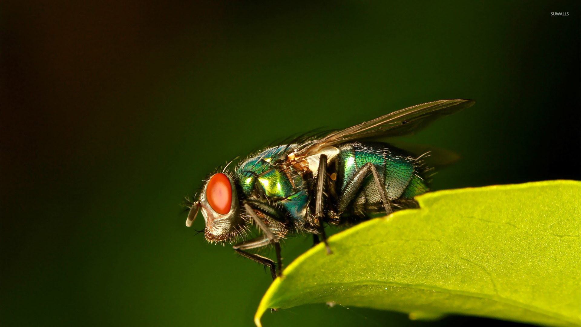 Common green bottle fly wallpapers