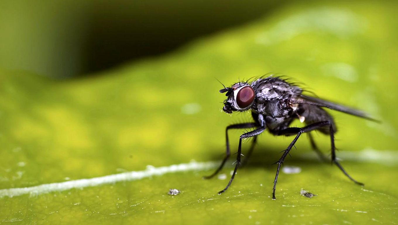 Funny Flies Insects Wallpapers HD / Desktop and Mobile