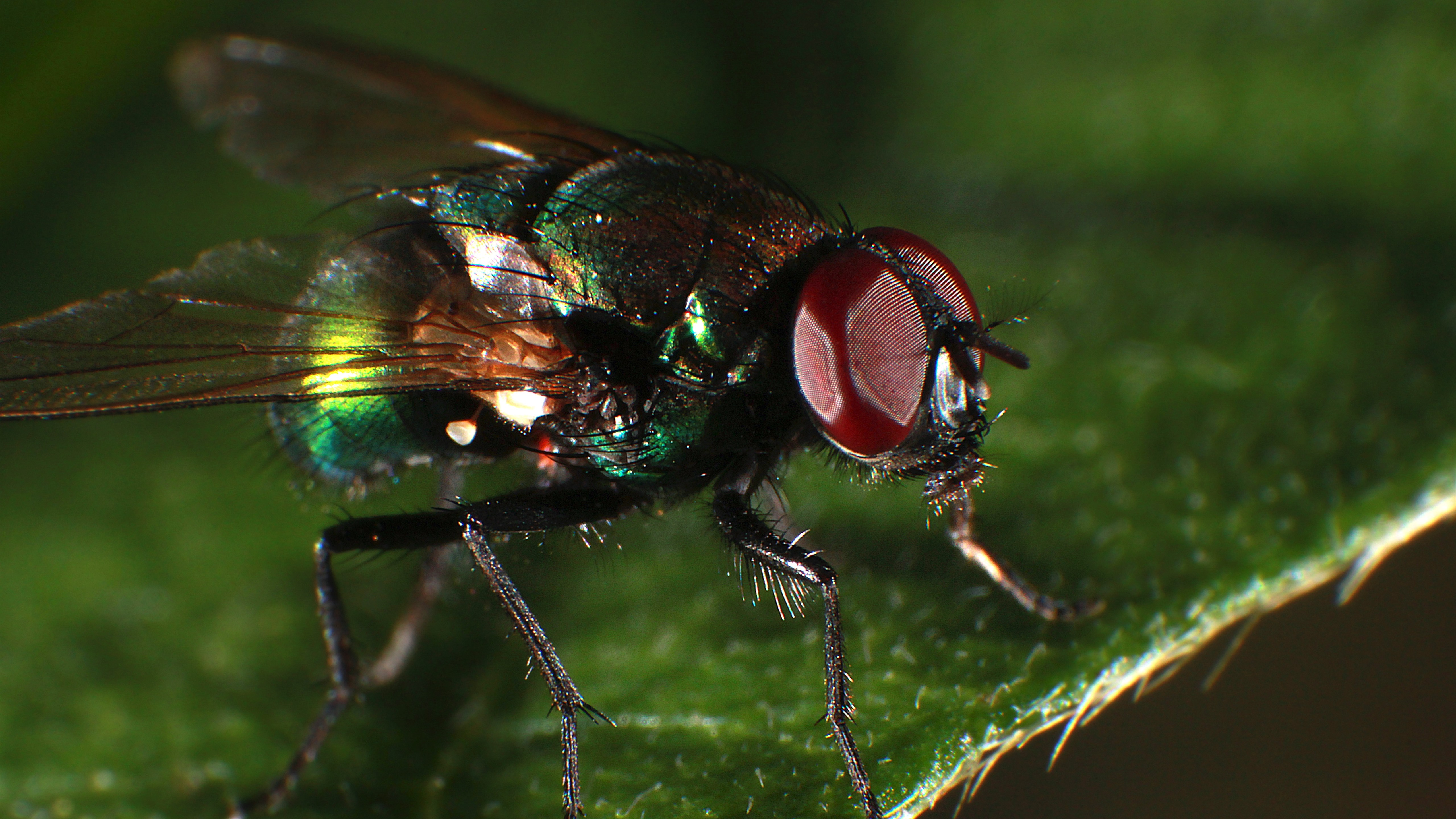 Wallpapers Fly macro photography, insect 5120x2880 UHD 5K