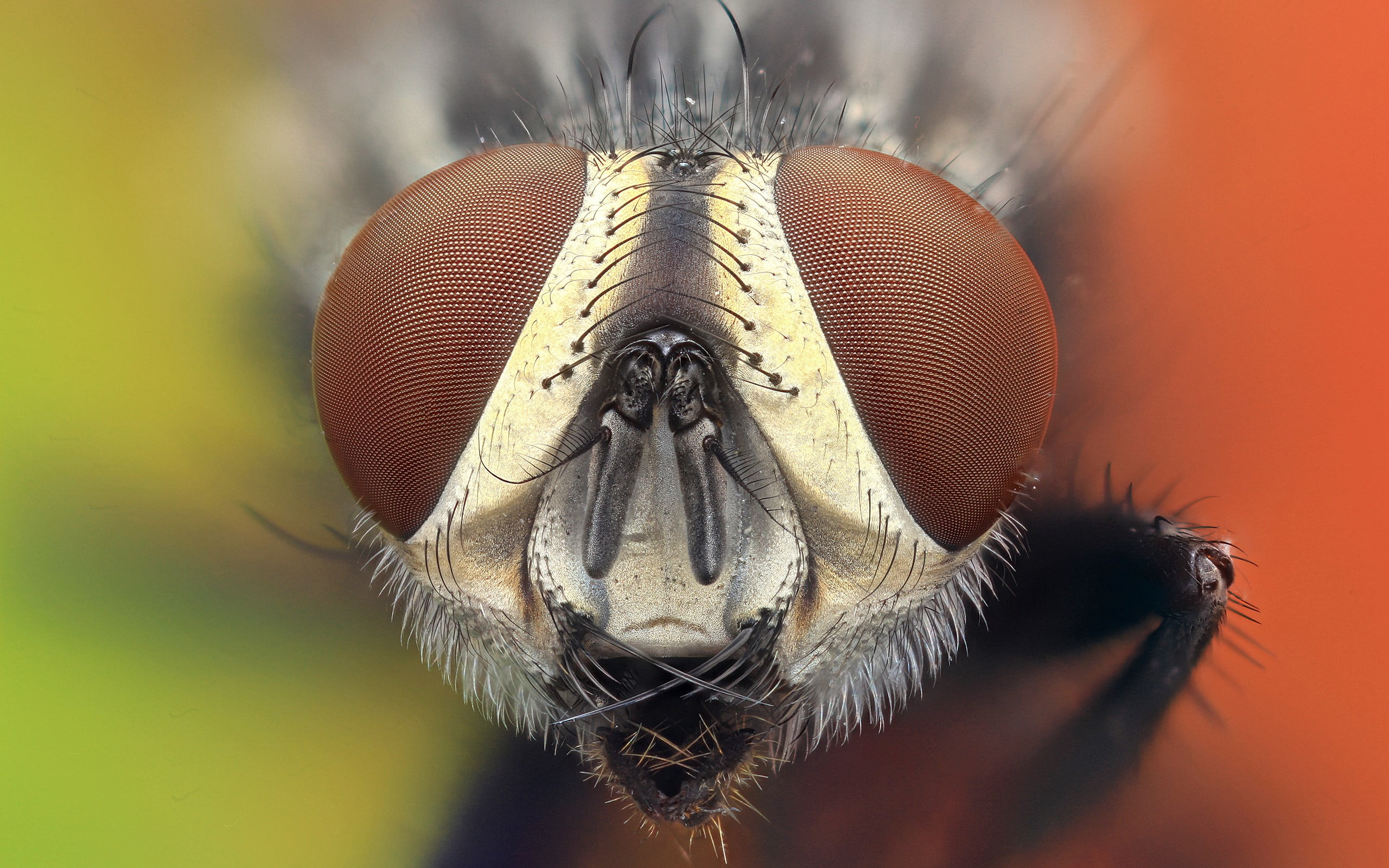 Macro photography of flies face, animals, nature, insect HD