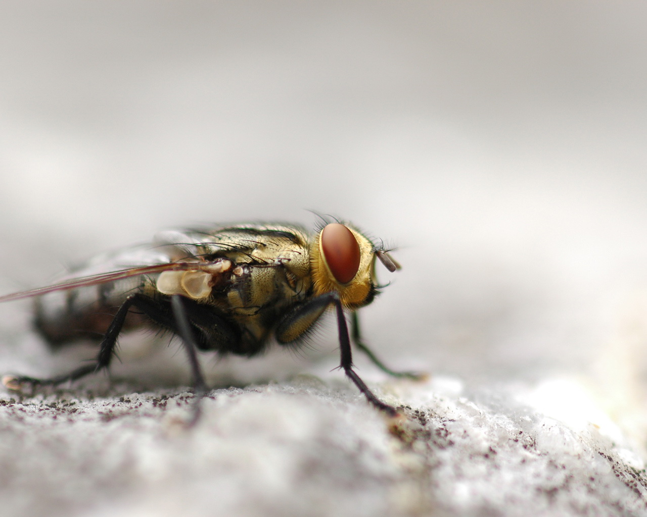 Photos Flies Insects Animals