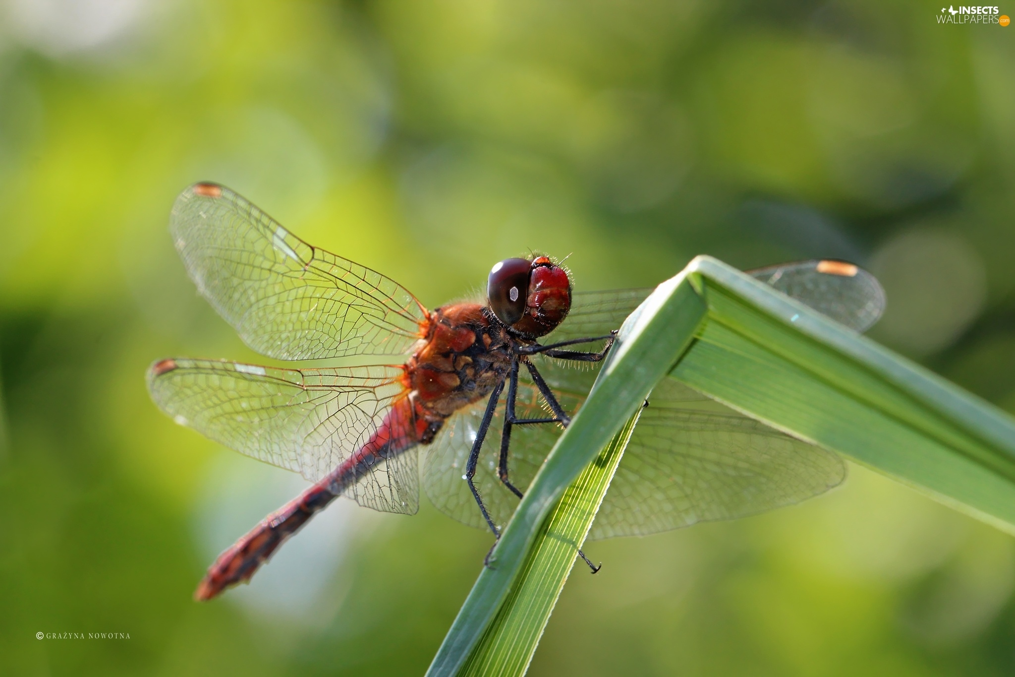 Free download Red Insect dragon fly Insects wallpapers