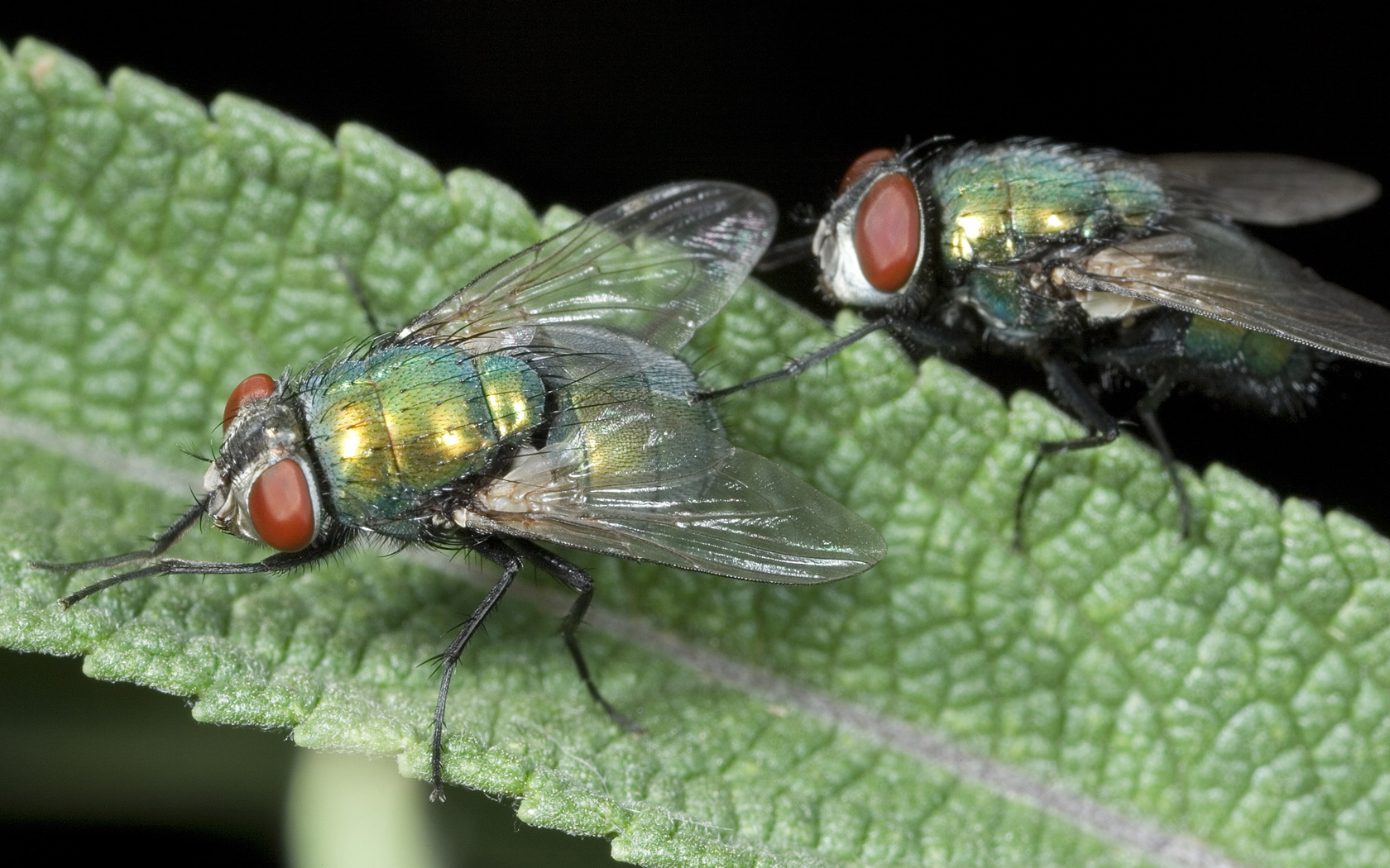 Greenbottle Fly Testing The Waters