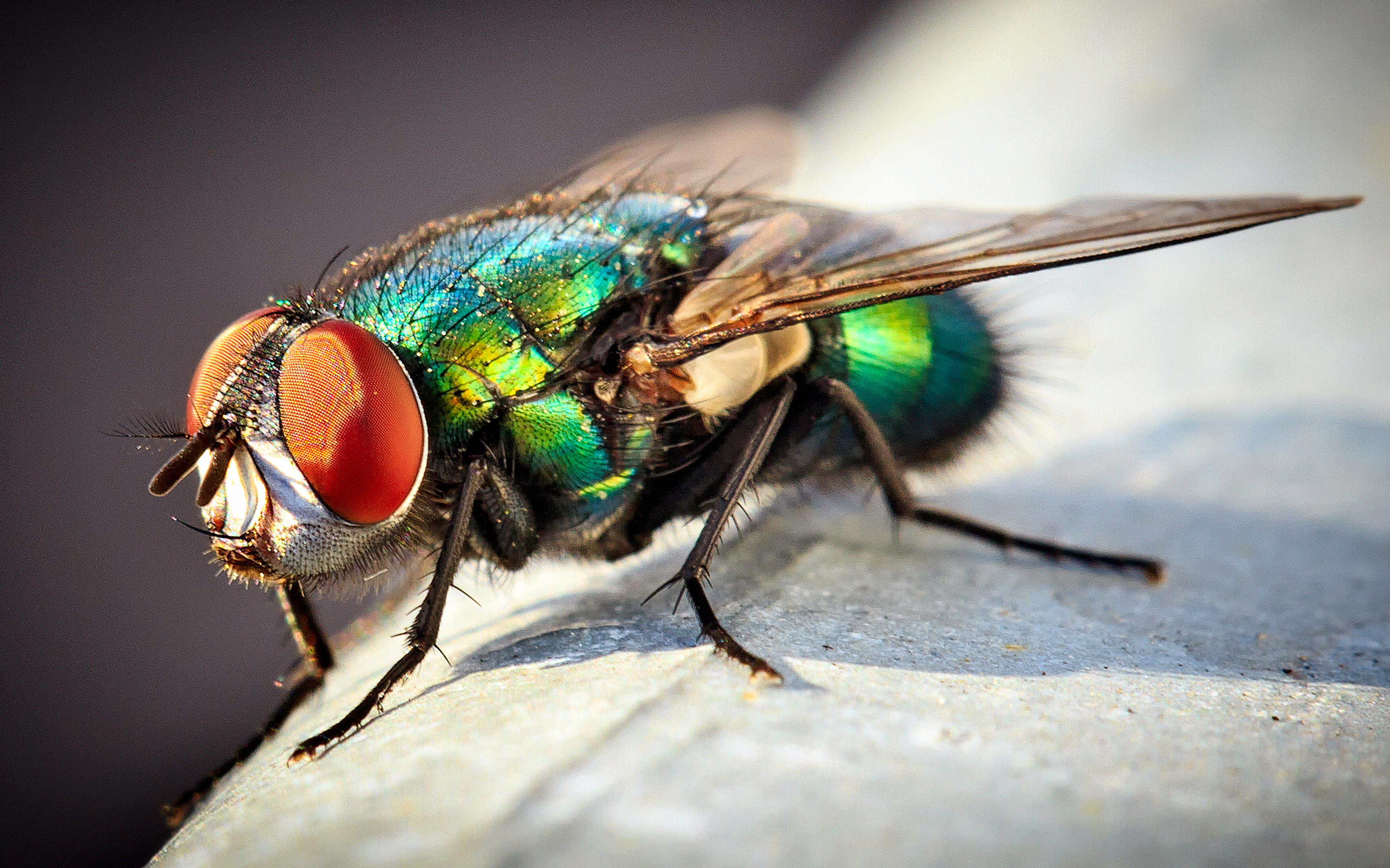 Insect Common Green Bottle Fly Macro Photo Desktop