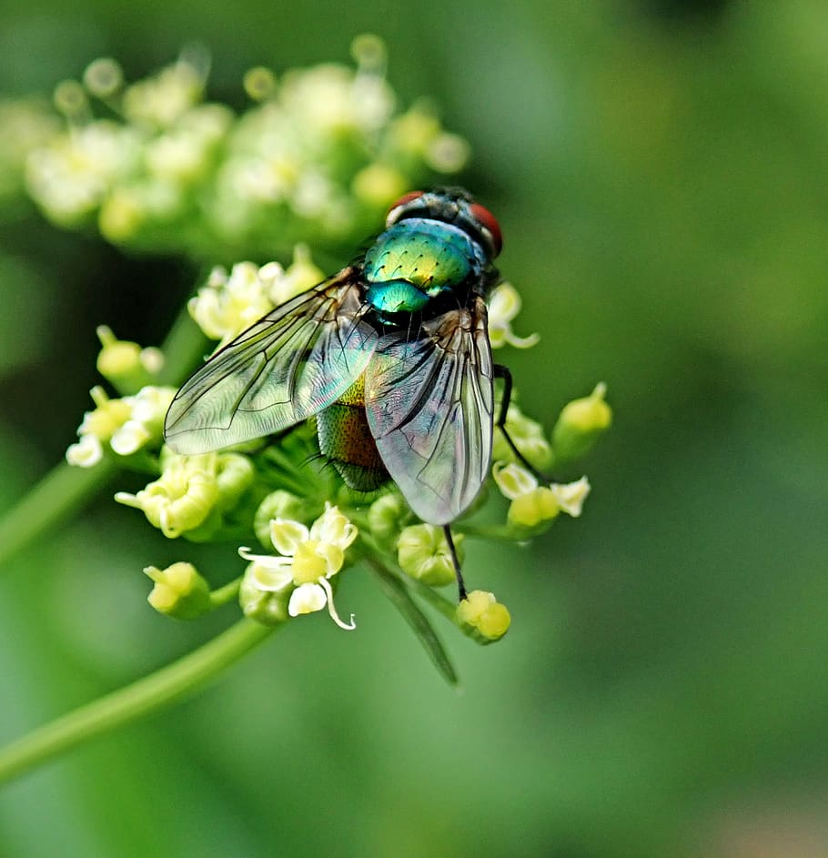 HD wallpaper: fly, insect, pest, garden, nature, flower