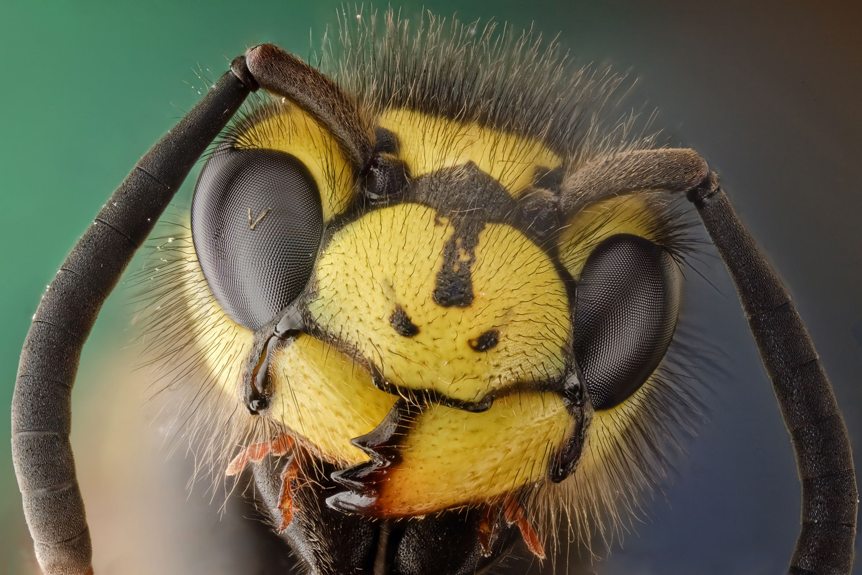 Insects Wallpapers 3000x2000 Animals, Insects, Hornet