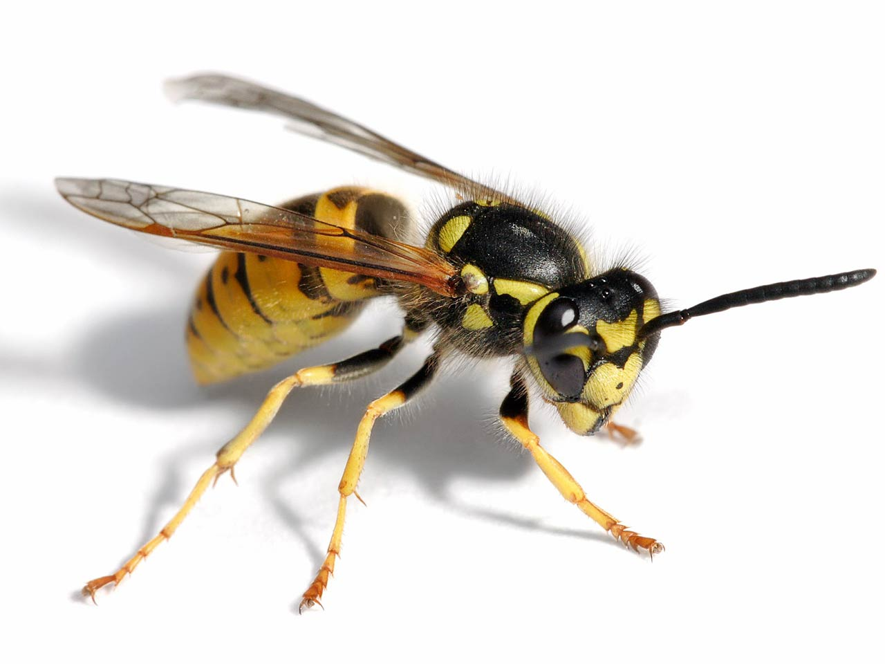 Wasp Wallpapers