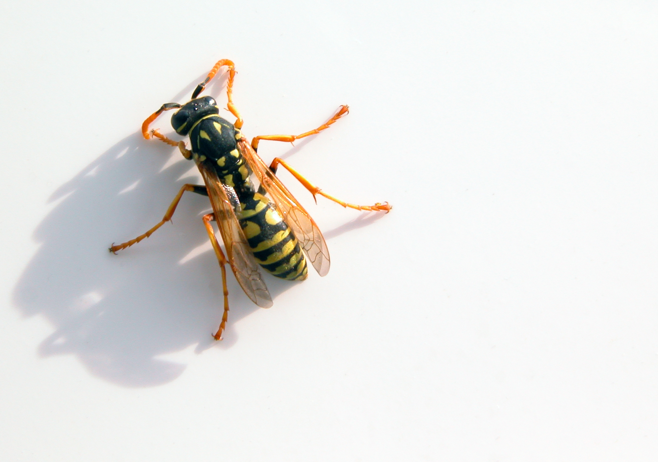 insects wasp 2098x1473 wallpapers High Quality Wallpapers