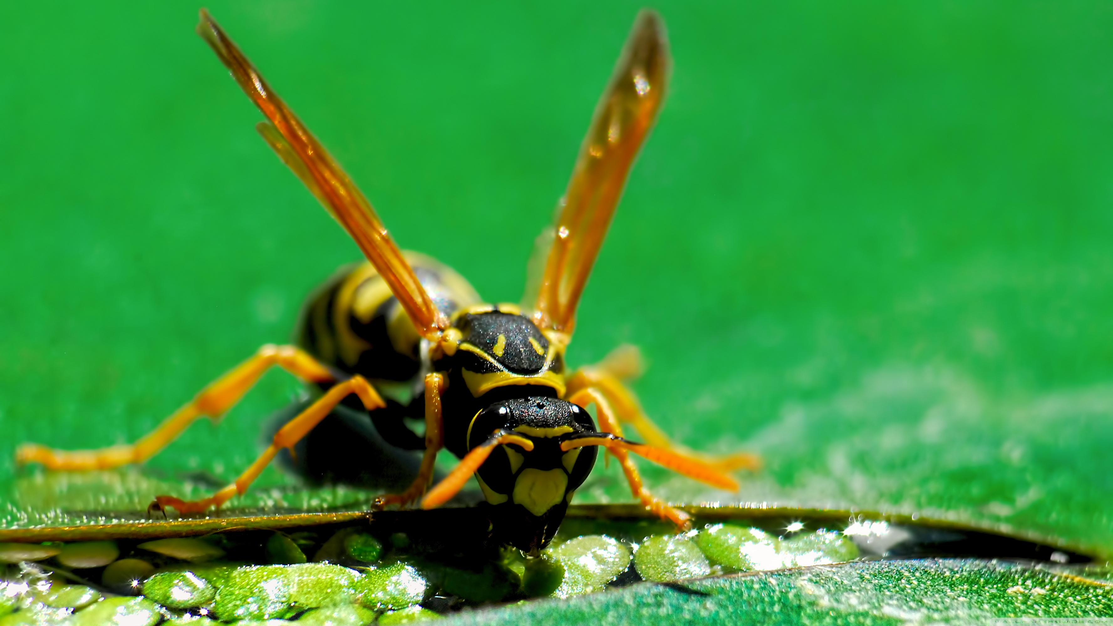 Wasp Ultra HD Desktop Backgrounds Wallpapers for 4K UHD TV