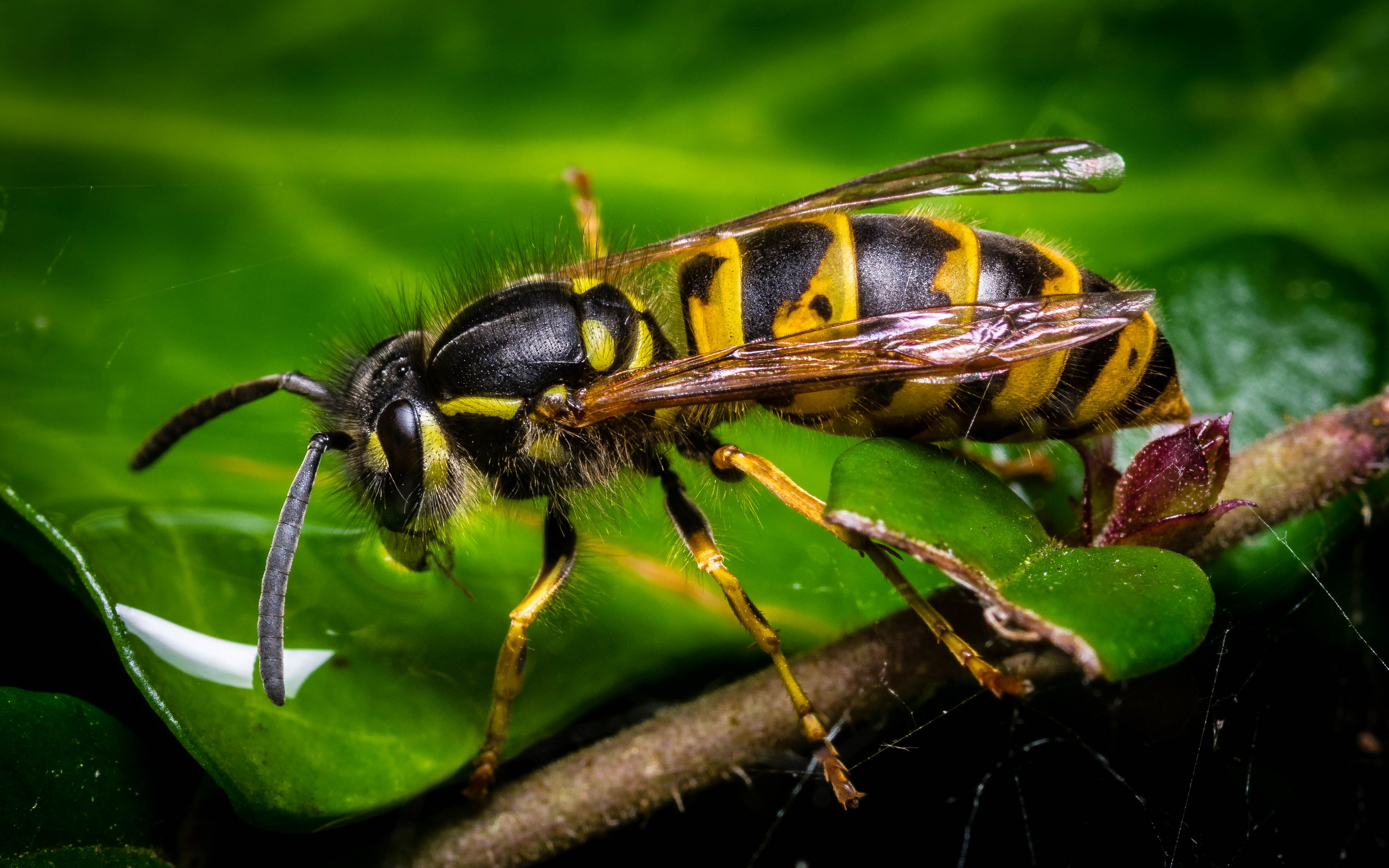 Wasp Insect Yellow Black Wallpapers For Mobile Phone And