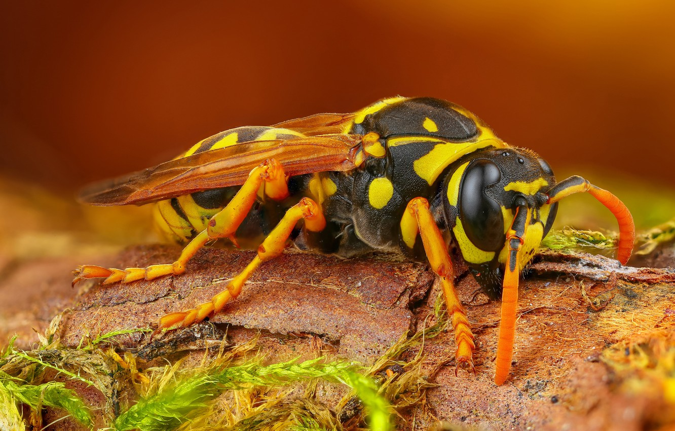 Wallpapers macro, background, OSA, insect, hornet, bark