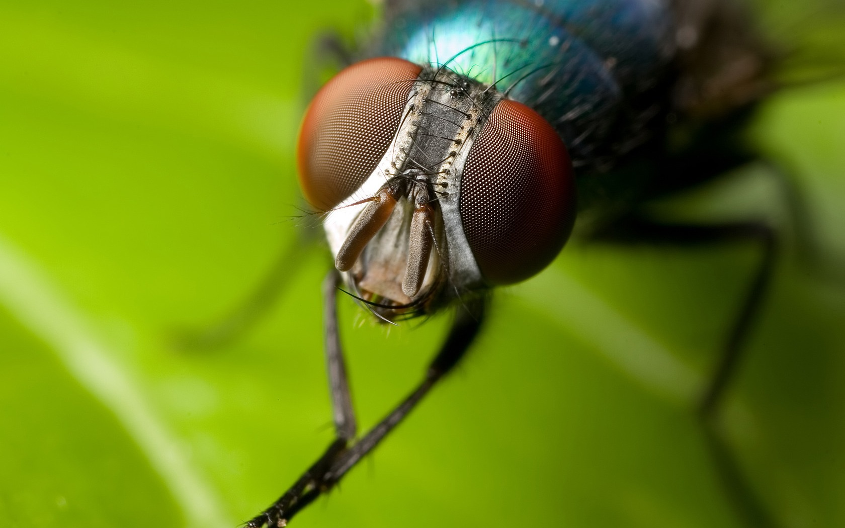 House fly Wallpapers Insects Animals Wallpapers in jpg format