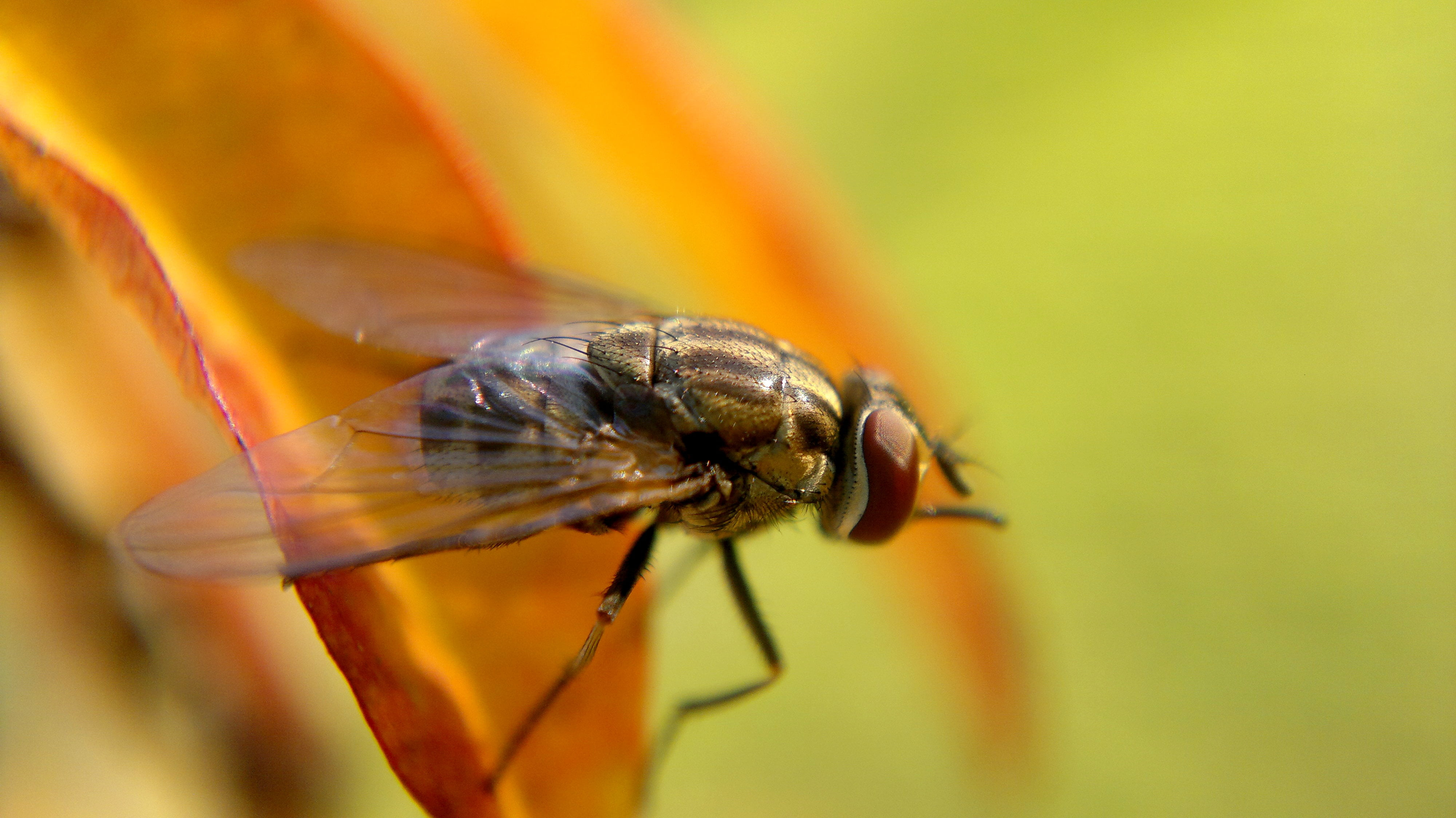 Common House fly perched on brown leaf, mosca HD wallpapers