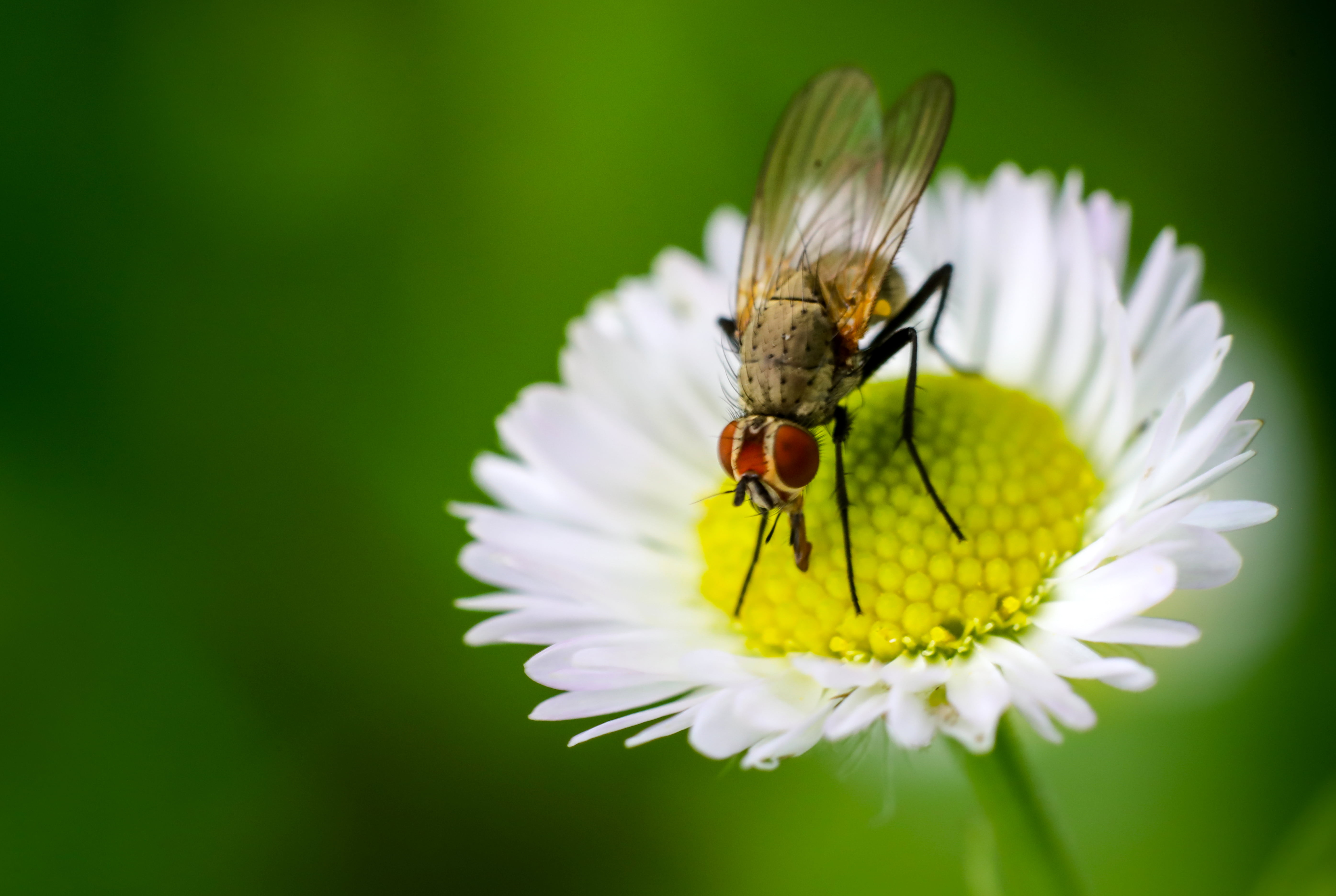 Common Housefly on a white
