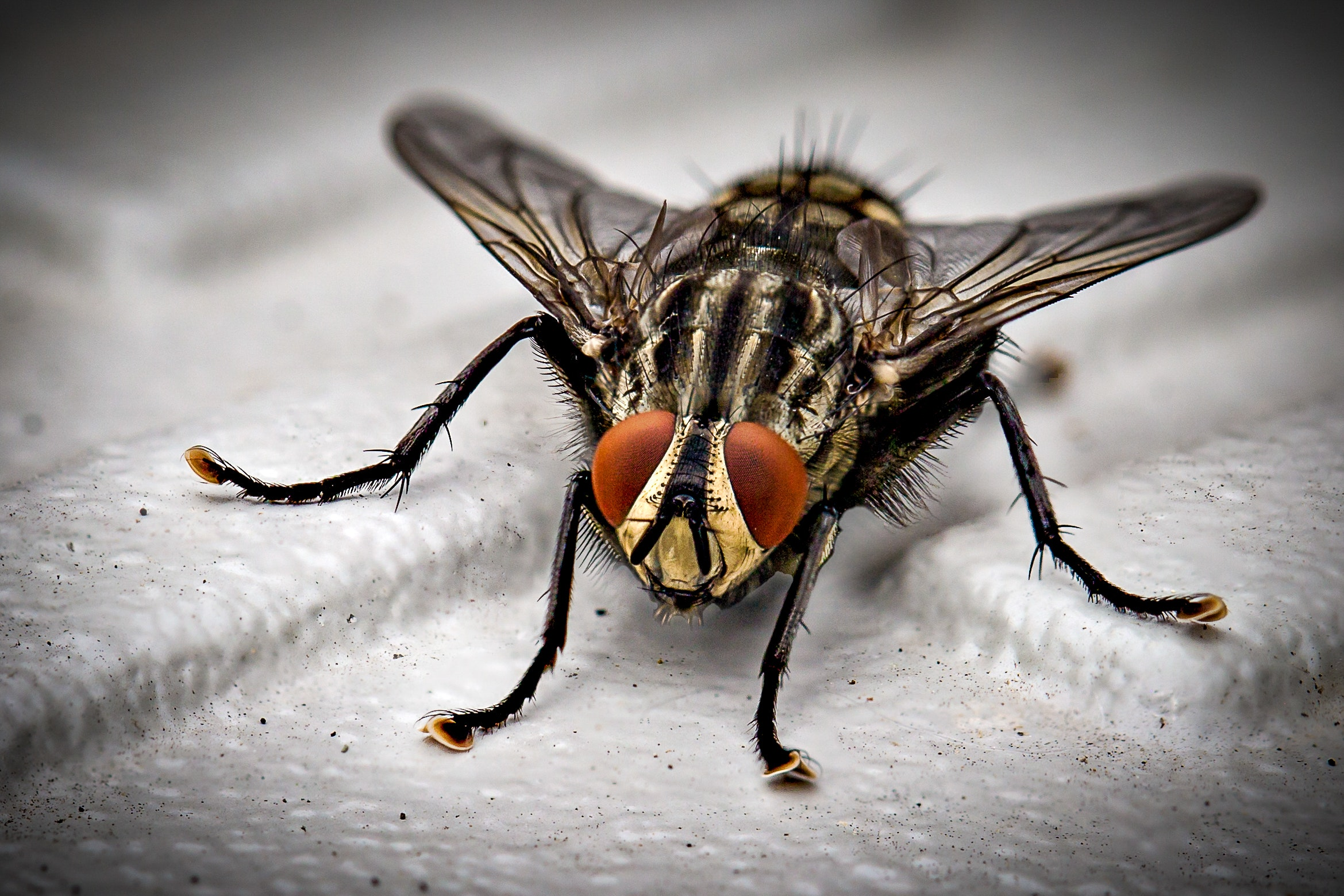 Closeup Photo of Black and Gray Housefly on White Surface