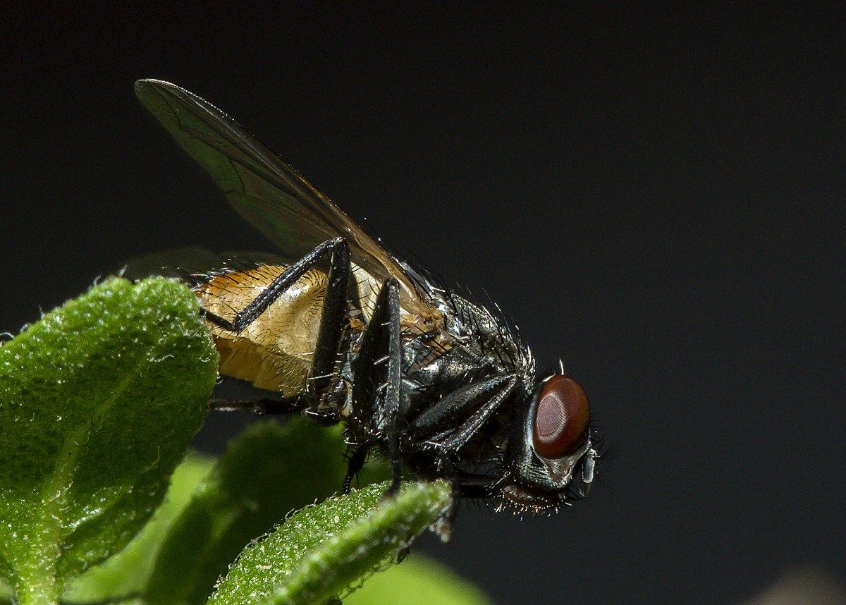 House Fly Macro With Sharp Detail