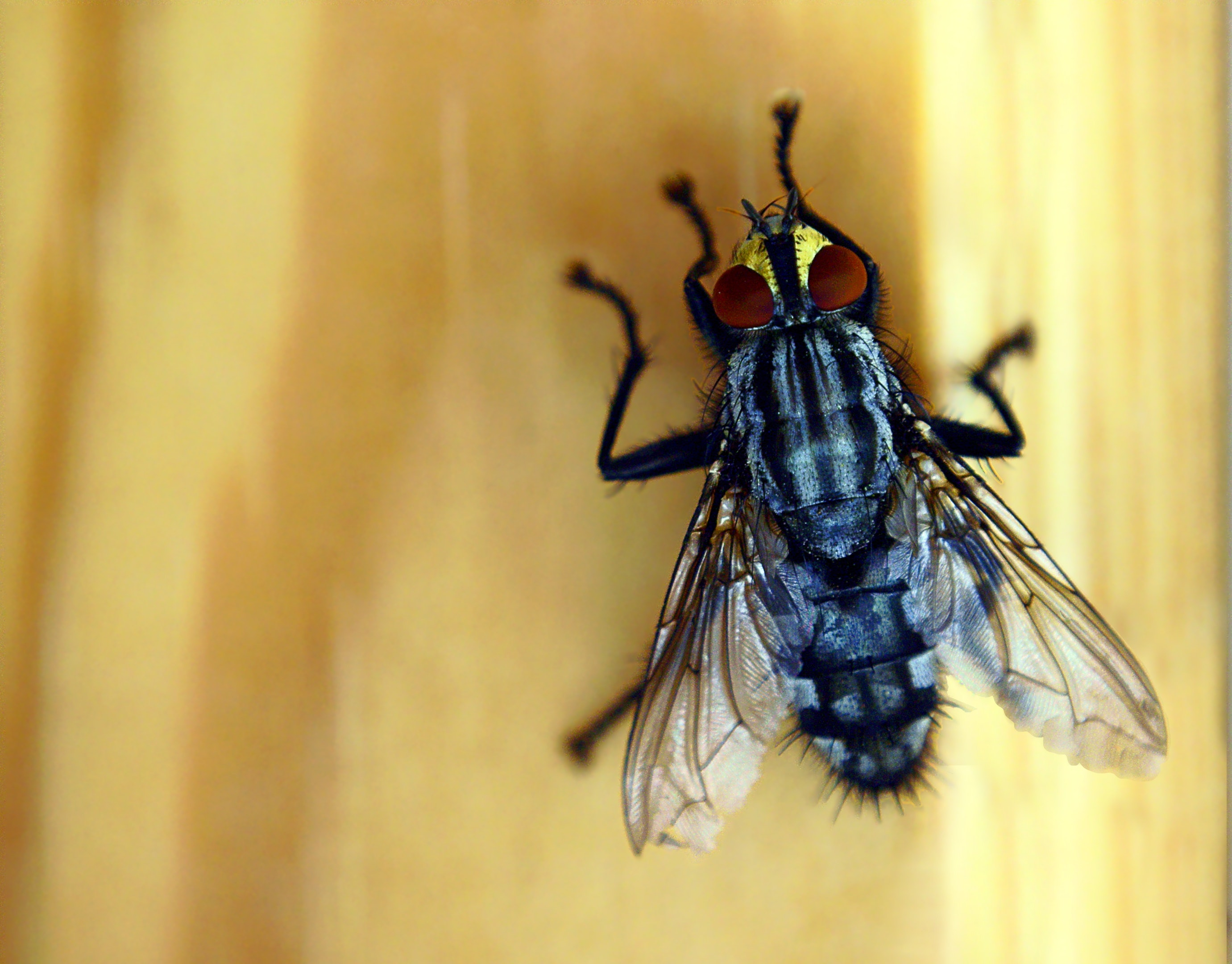 Free stock photo of fly eye, fly wing, housefly