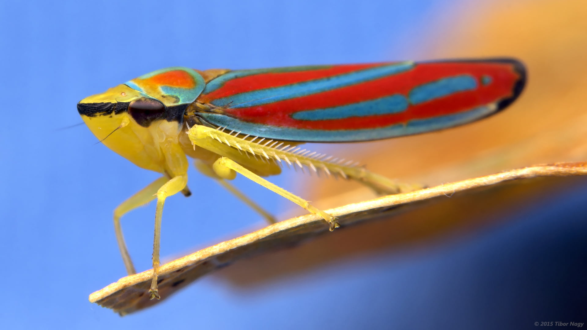 Macro photography of red, blue, and brown treehopper