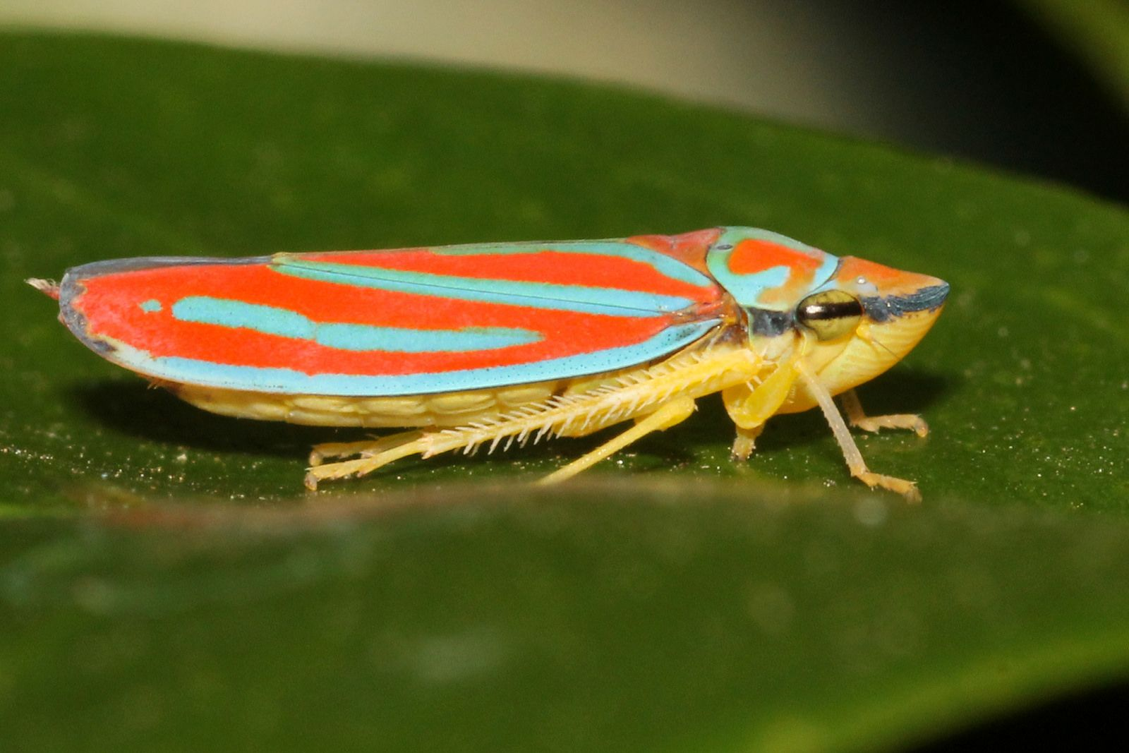 Nathan Marcy on Leafhopper