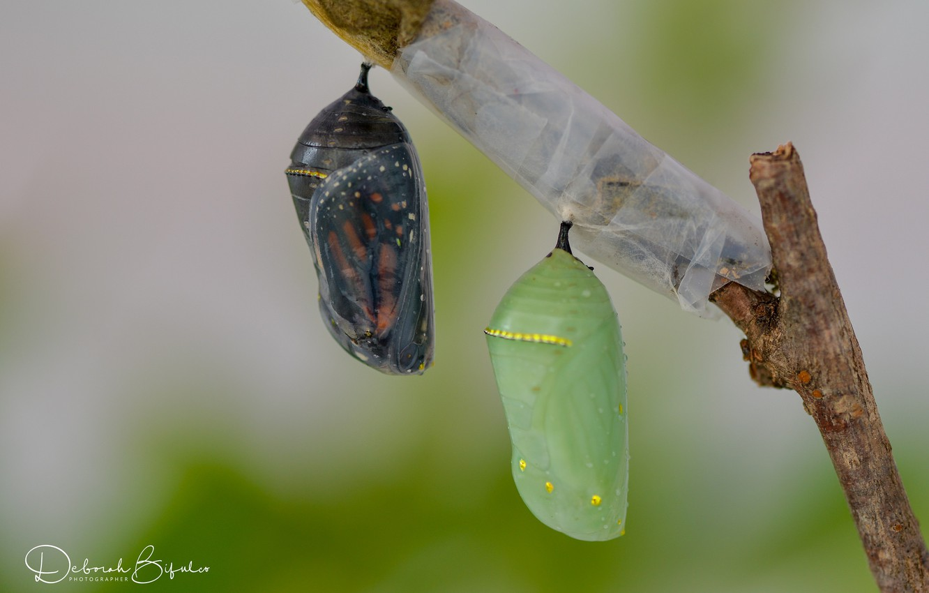 Wallpapers butterfly, sprig, cocoons image for desktop