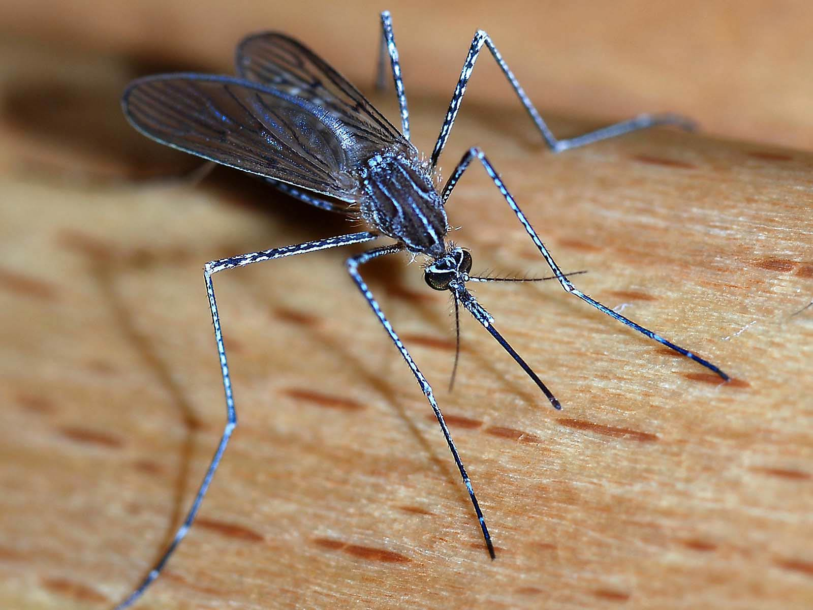 Mosquito Wallpapers