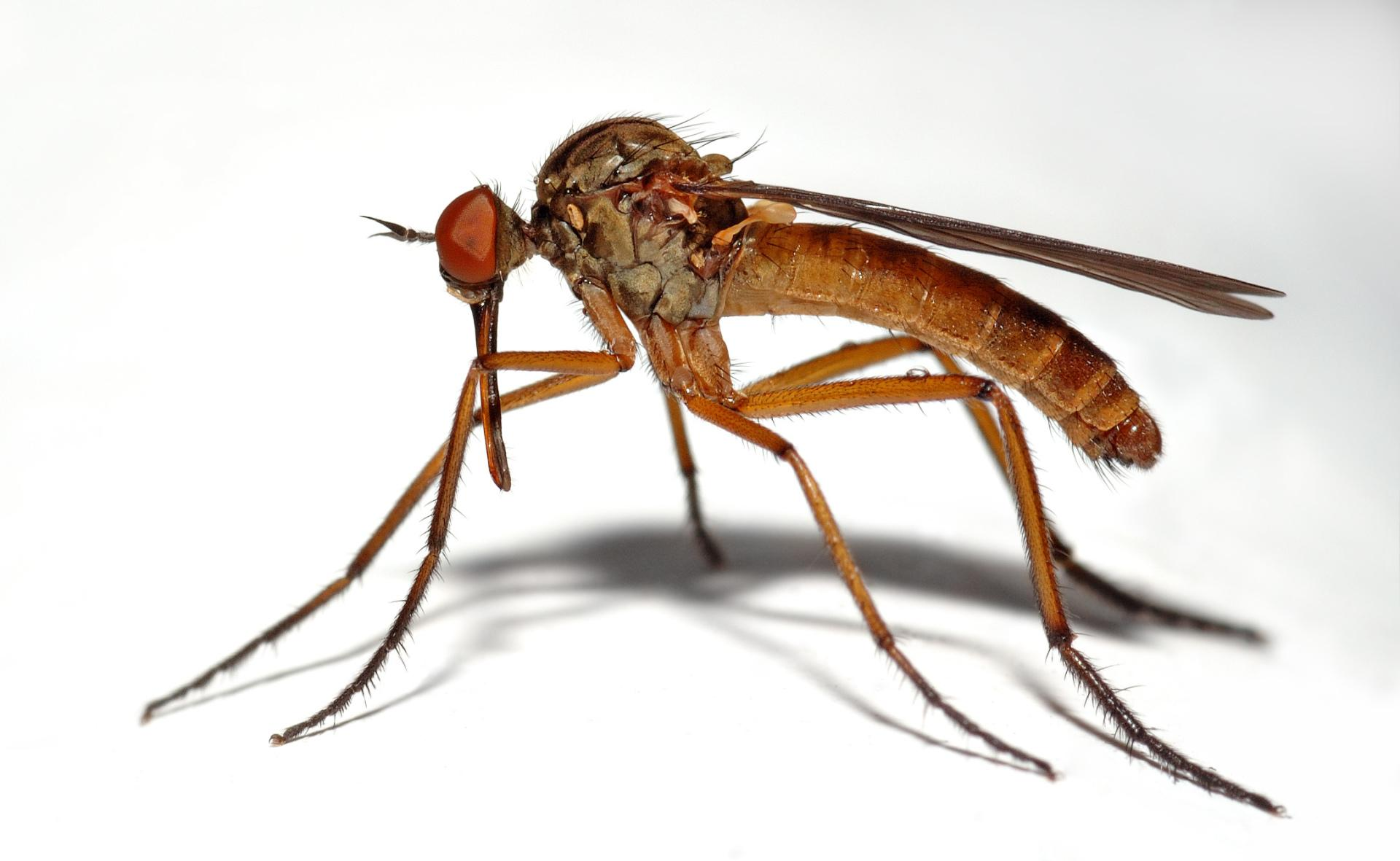Mosquito Wallpapers HD Download