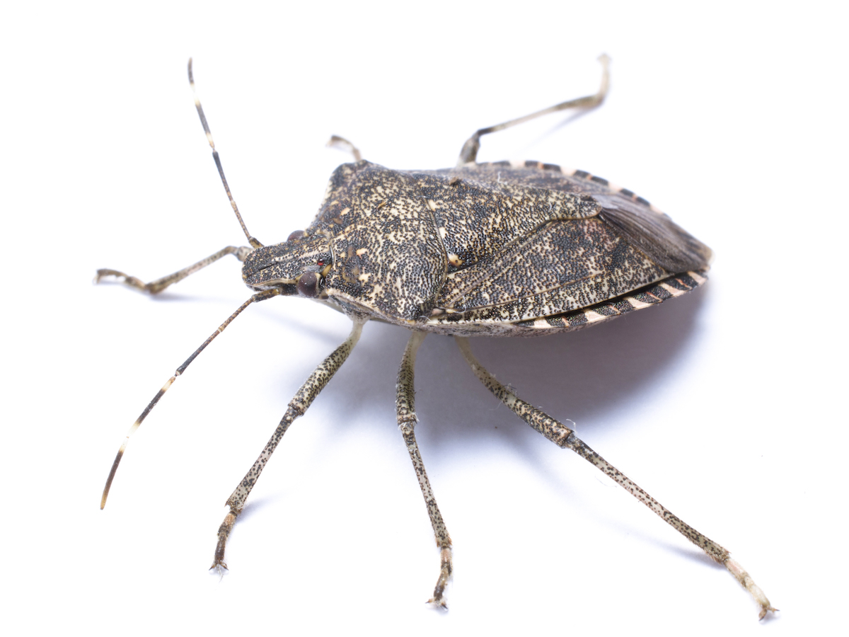 Stink Bug wallpapers, Animal, HQ Stink Bug pictures