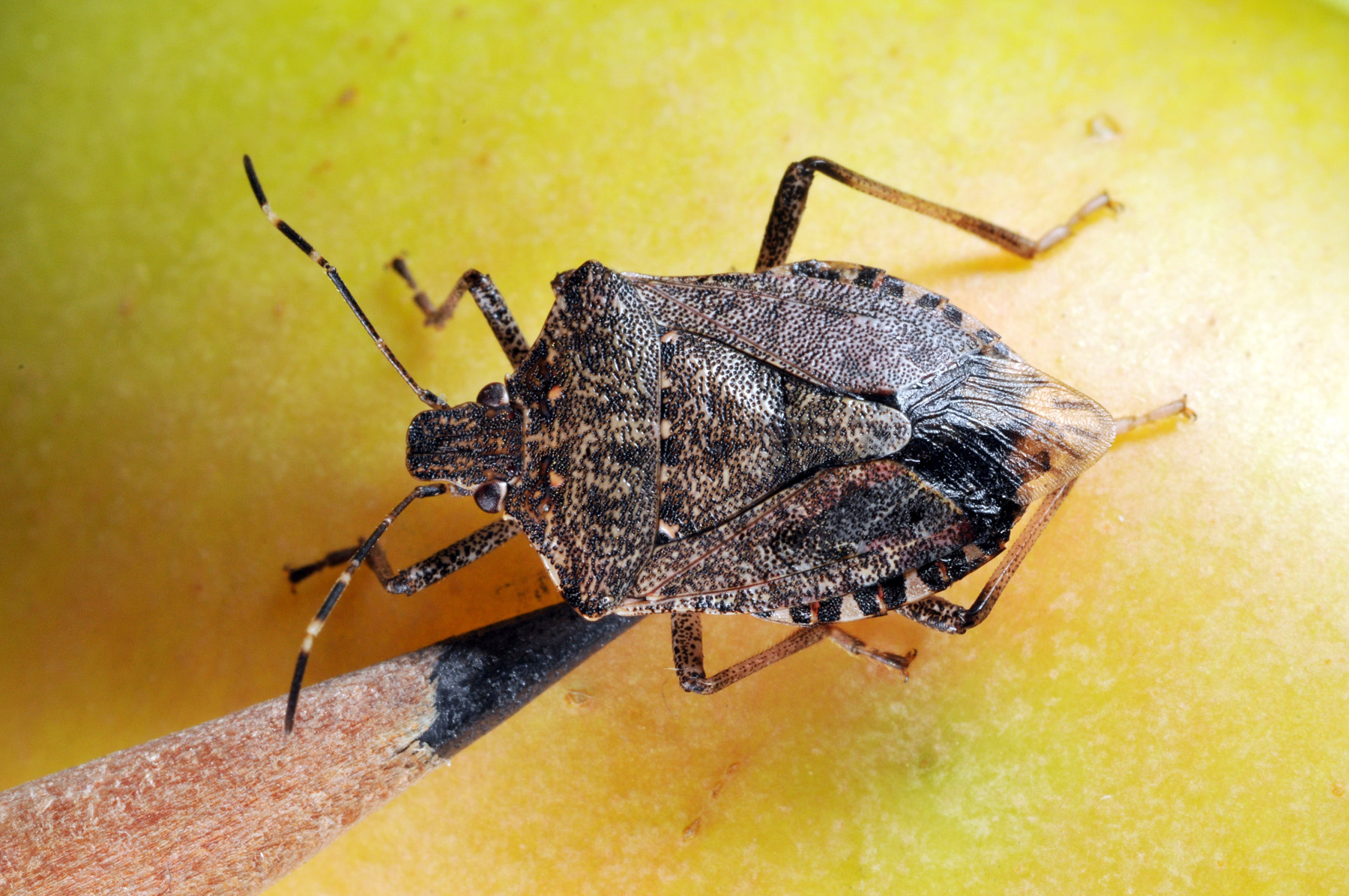 Stink Bugs Control and Extermination by Planet Orange